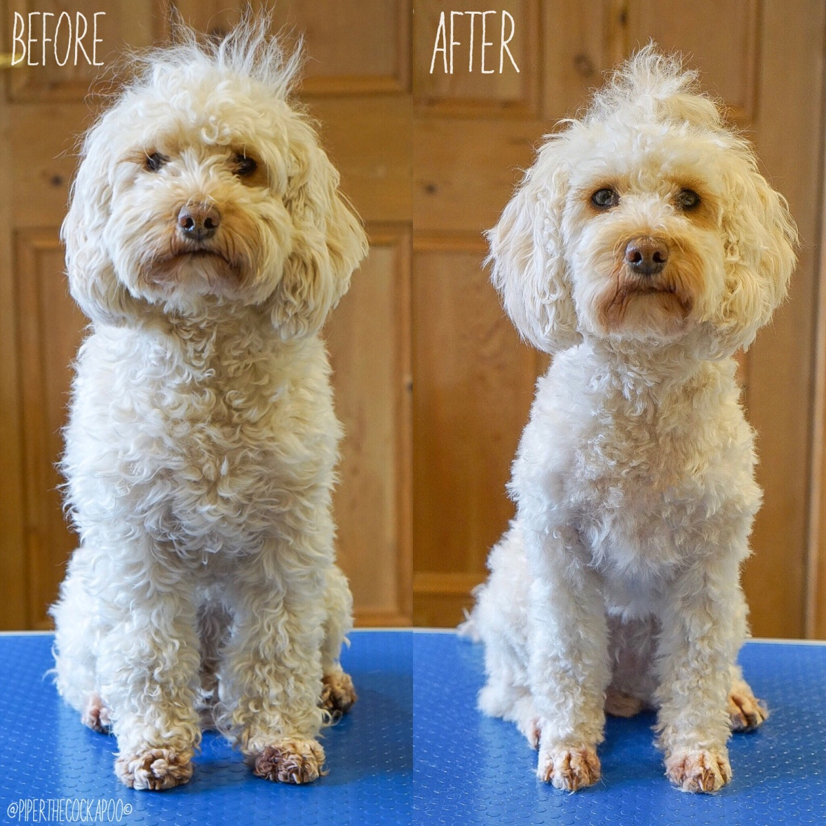 Full Grooming Routine – Piper the Cockapoo